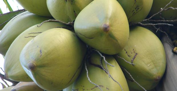 mini_coconut