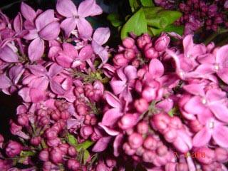 lilac-jpg